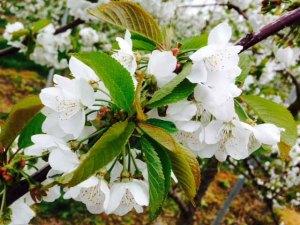 cherry blossom 1 for web