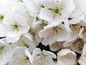 cherry blossom 2 for web