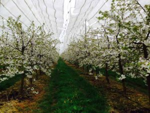 cherry trees in blossom for web