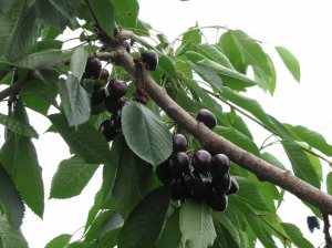 ripe cherries on trees for web